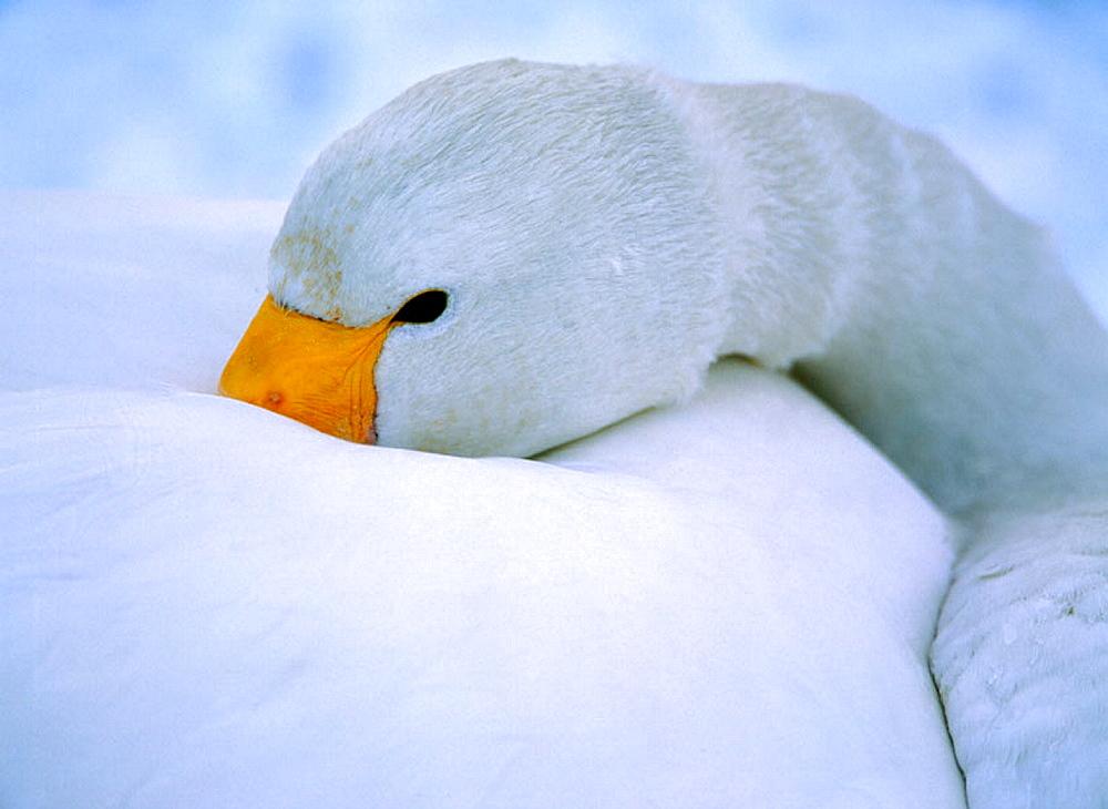 Whooper Swan (Cygnus cygnus), trying to sleep, Japan