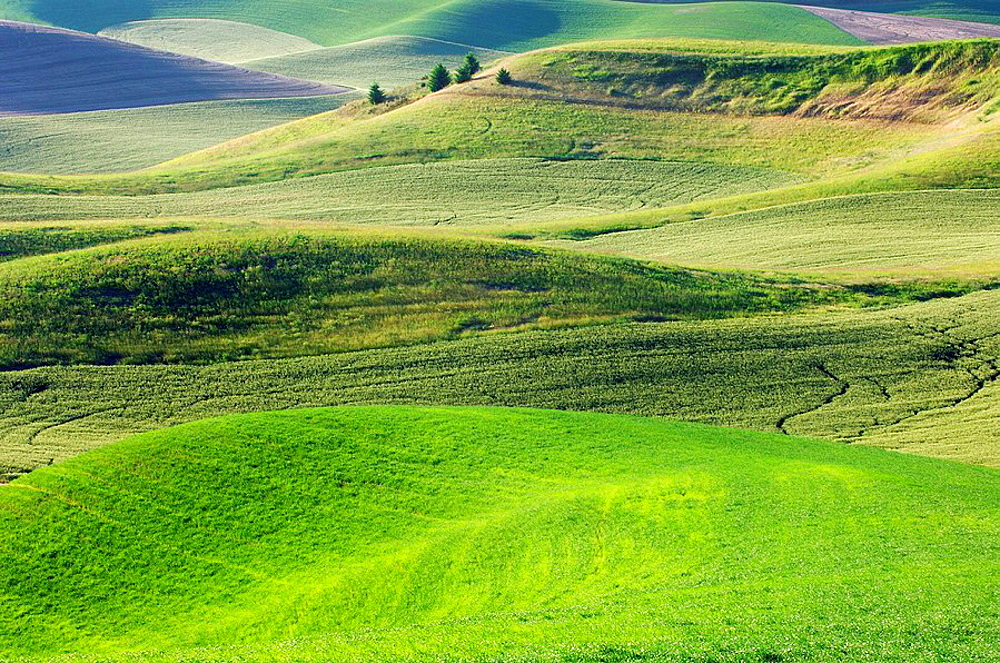 Green Wheatfields in spring near Colfax at the Palouse Region The verdant Palouse stretches across more than 2 million acres in eastern Washington and western Idaho Near Colfax, Palouse, Whitman County, Washington State, USA, America