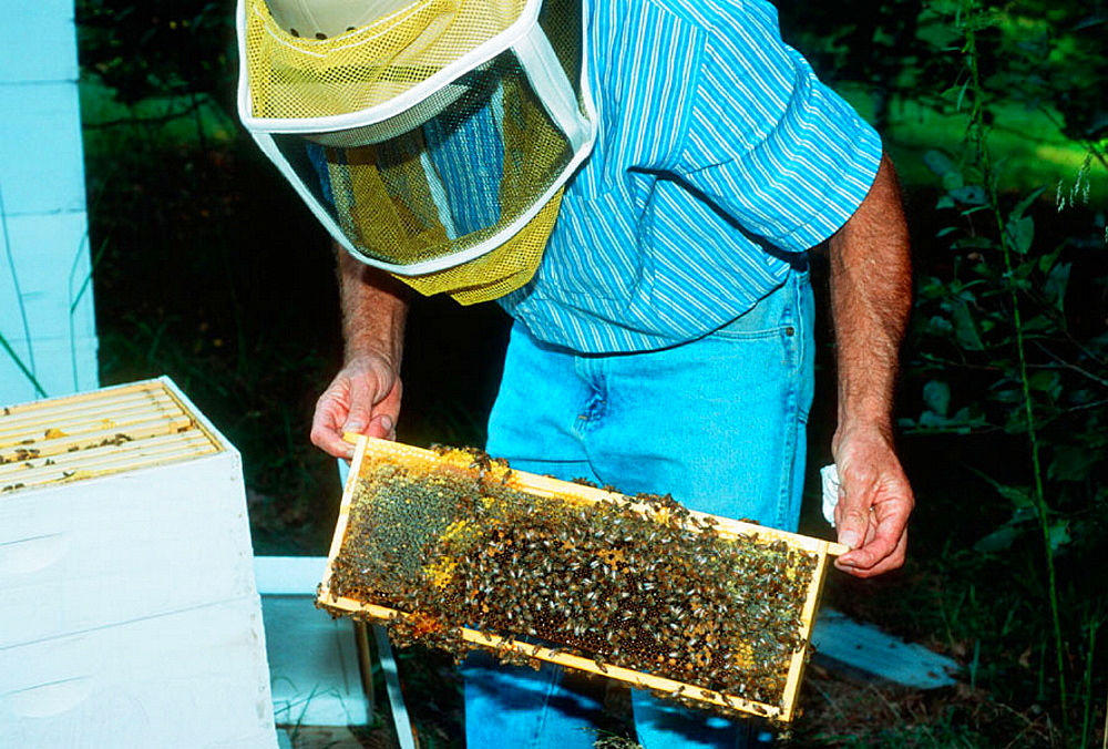Bee keeper examining hive, Tennessee, USA