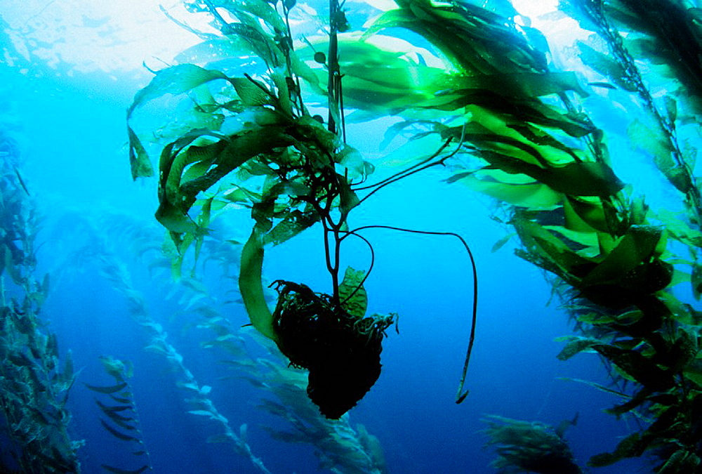 Giant kelp (Macrocystis pyrifera) holdfast floating through forest, California, USA