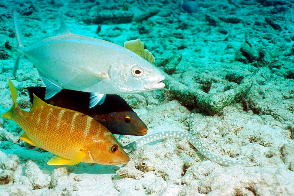 Sharptail eel Myrichthys breviceps hunting on coral rubble, followed by a Spanish hogfish Bodanius rufus, Schoolmaster Lutjanus apodus and a Bar jack Caranx ruber who are hoping to catch escaping prey Bonaire, Netherlands Antilles, Caribbean, Atlant