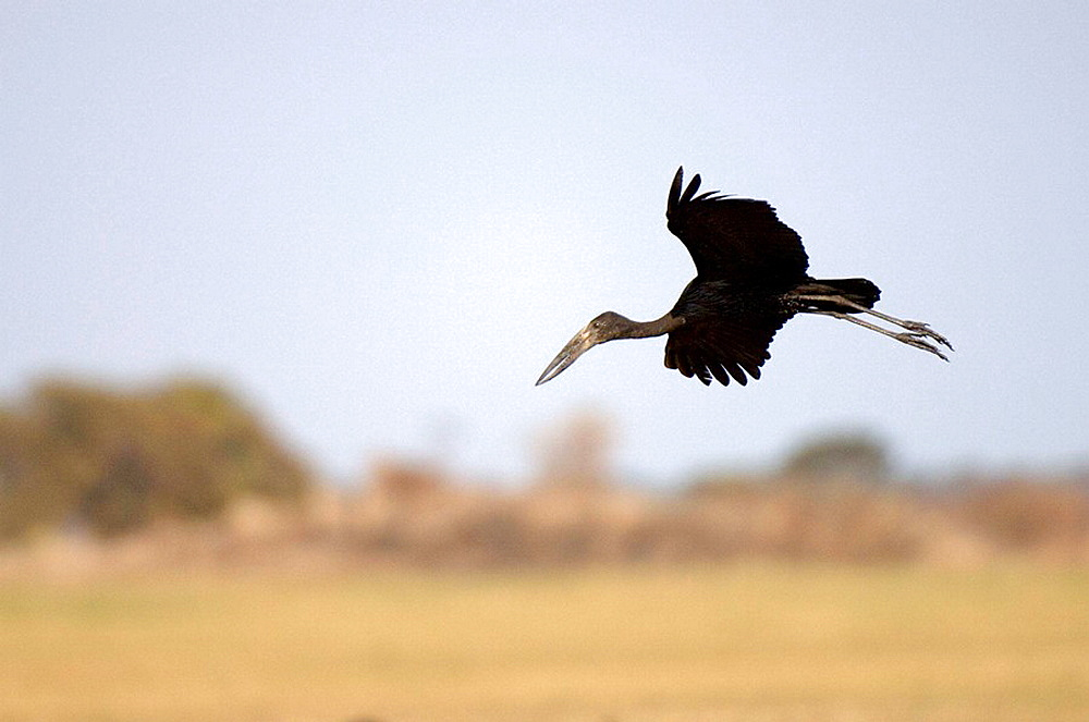 African Openbill Stork (Anastomus lamelligerus), Busanga Plains, Kafue National Park, Zambia