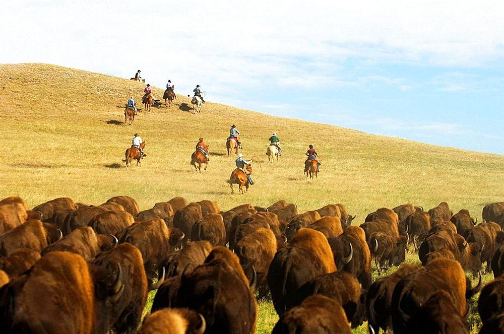 Cowboy pushing herd at Bison Roundup, Custer State Park, Black Hills, South Dakota, USA