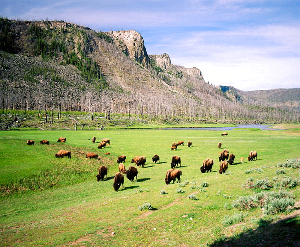 Bison graze along the Madison river, Yellowstone National Park, Teton County, Wyoming, USA