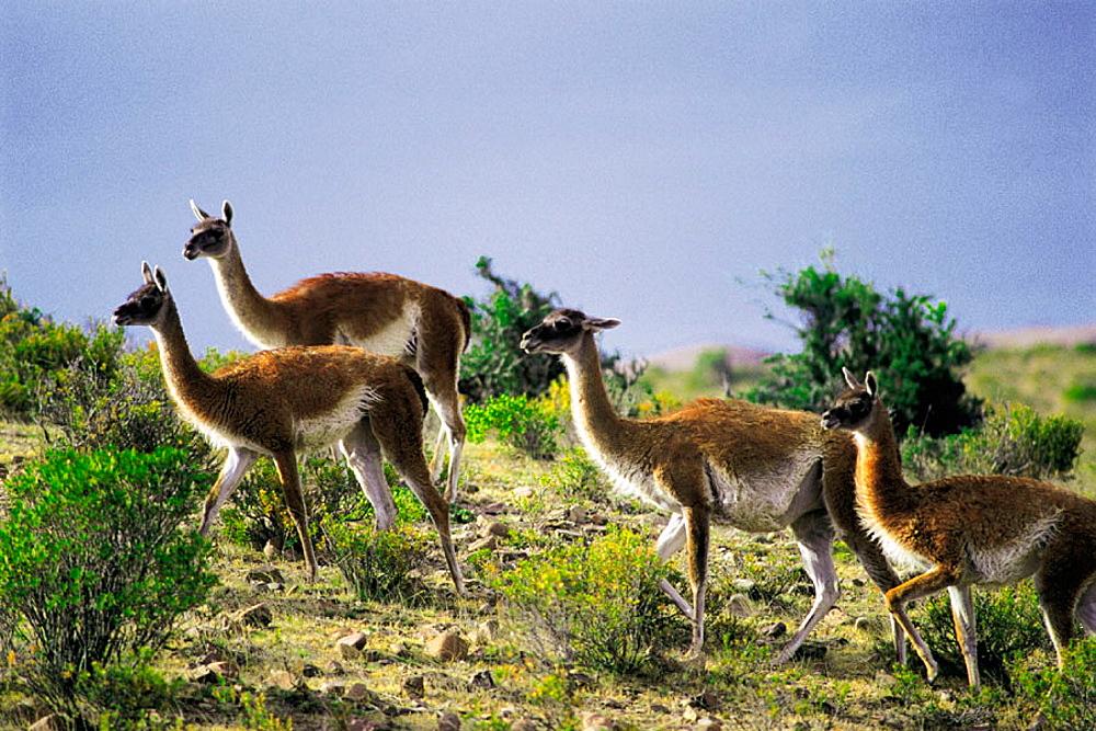 Guanacos (Lama guanicoe), Bahia Camarones, Chubut province, Argentina