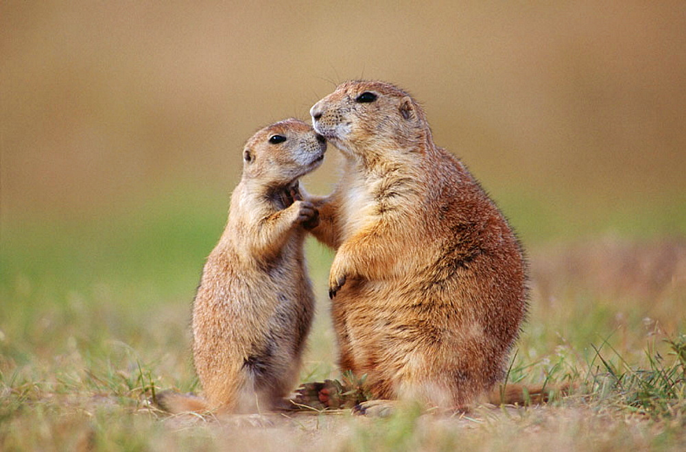 Black-tailed Prairie Dog (Cynomys ludovicianus), adult and younger interacting, Devil's Tower National Monument, Wyoming, USA