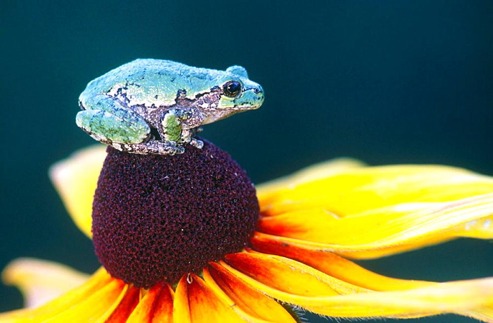 Gray treefrog (Hyla versicolor) resting on rudbeckia flower, Ontario, Canada