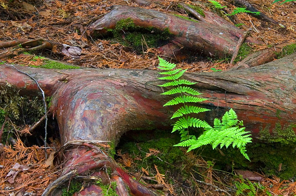 Fern and cedar root in old-growth boreal forest, Temagami, ON, Canada