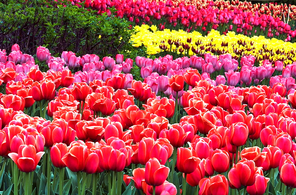 Tulip beds in Commissioner's Park near Dow's Lake, Ottawa, Ontario, Canada