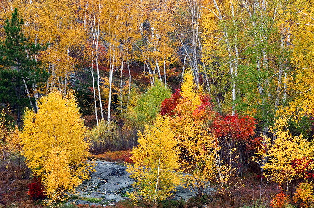 Autumn colour with birch trees, Sudbury, Ontario, Canada