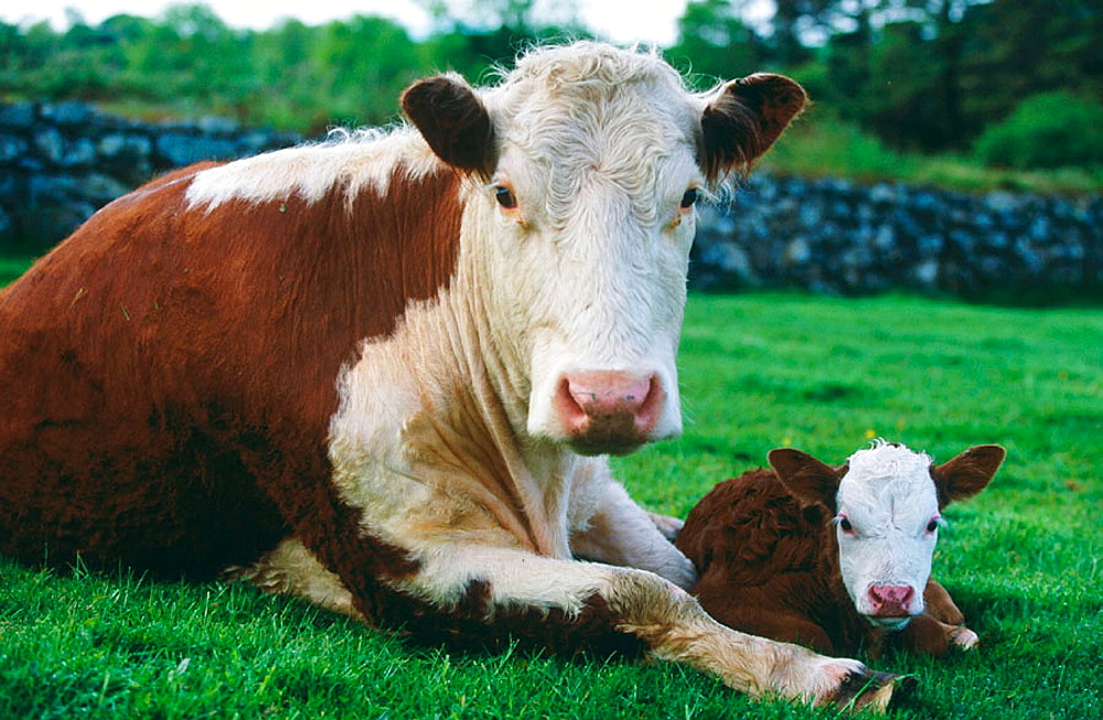 Cow with new born calf, Ireland