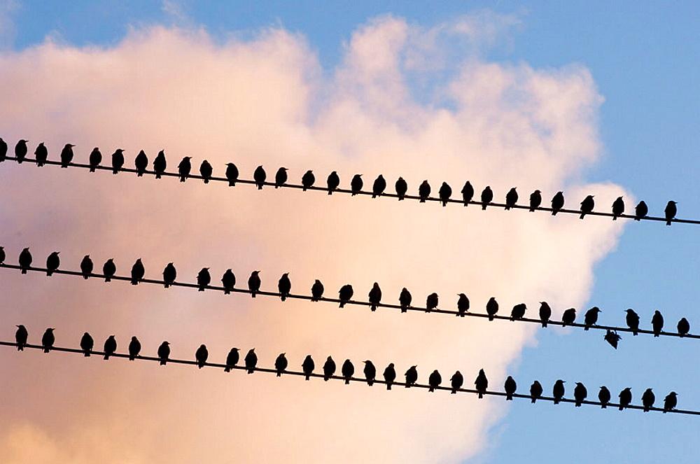 European Starling (Sturnus vulgaris), Large migratory flock roosting on power lines in late summer, Wanup, Ontario, Canada