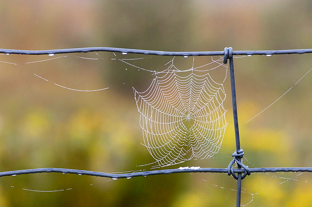 Dewy spider web on fence wire, Lively, Ontario, Canada