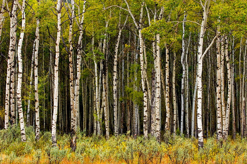 Aspen grove in early autumn, Jasper National Park, Alberta