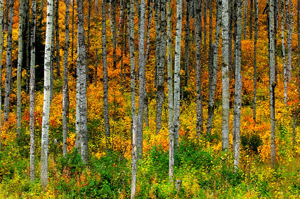 Aspen trees with autumn foliage in understory, Thunder Bay, Ontario