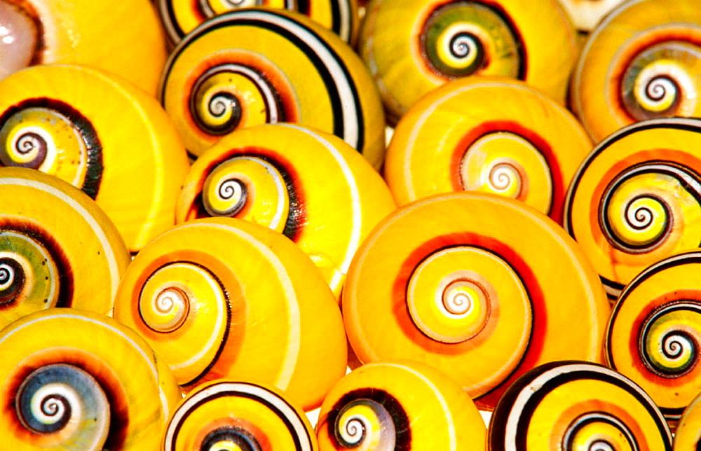 Typical Cuban land snails - 817-12345