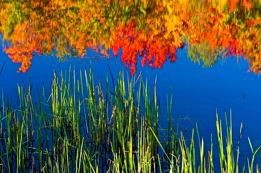 Red maple in autumn colour reflected in Fairbank Creek, Canada