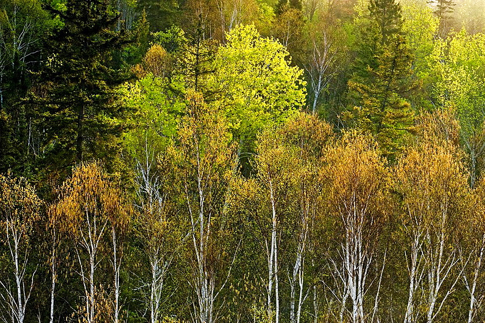 Emerging foliage in deciduous trees in mixed forest on hillside