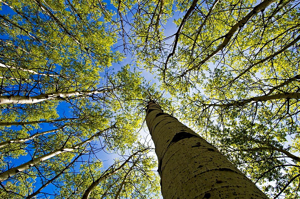 Looking upwards in aspen grove, with emerging spring foliage