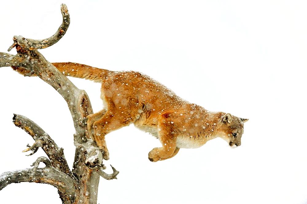 Cougar Felis concolor- captive in winter habitat