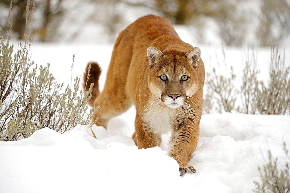 Cougar, Mountain lion Felis concolor captive in winter habitat