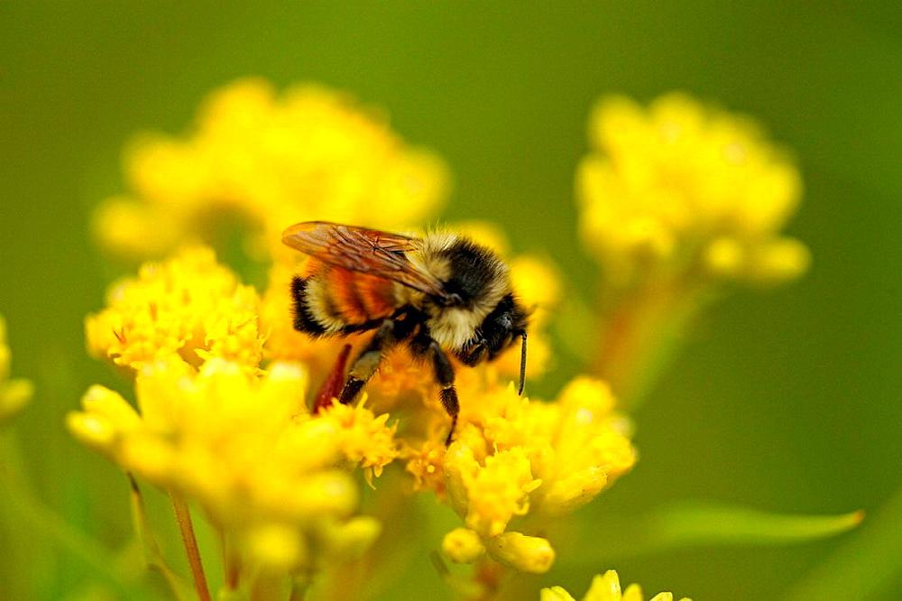 Honeybee Apis mellifera foraging for pollen on goldenrod flower