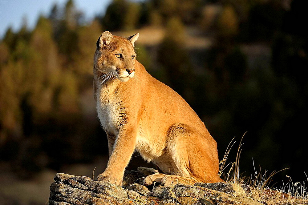 Mountain lion/Cougar/Puma Felis concolor- captive