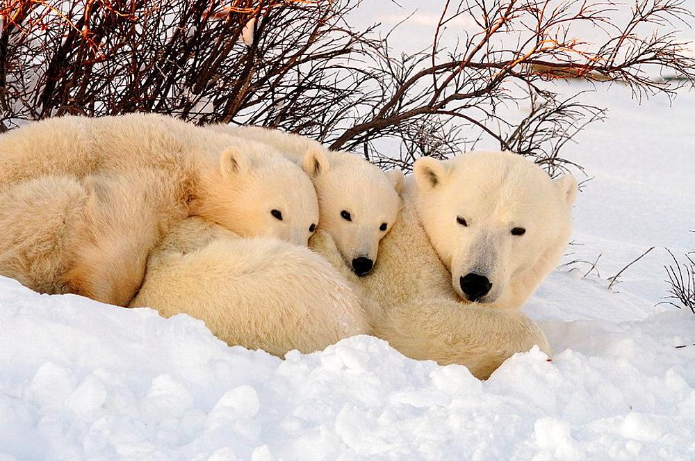 Polar bear Ursus maritimus Mother and first-year cubs