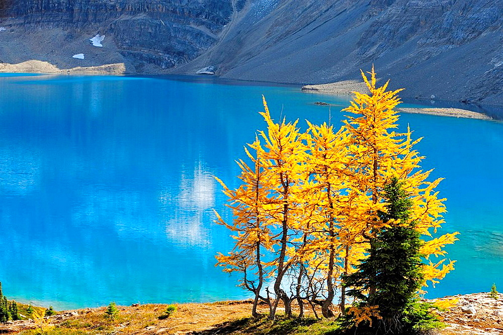 Western larches in autumn colour overlooking McArthur Lake - 817-124058