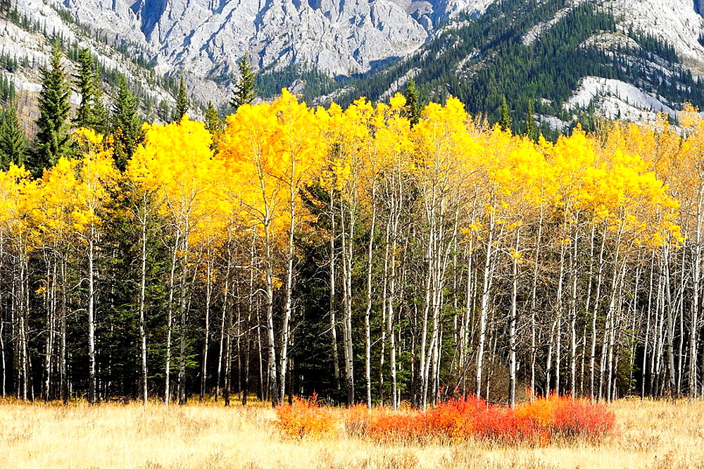 Autumn aspens at edge of meadow along the Bow Valley Parkway - 817-124071