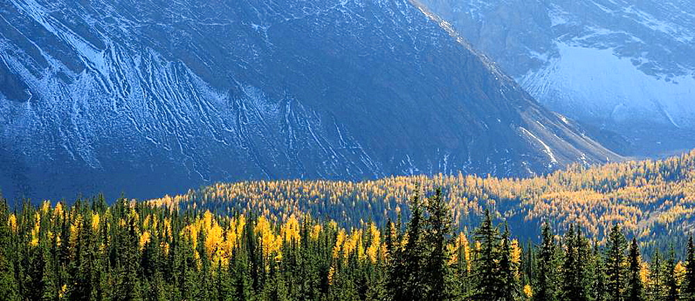 Larches and snow-dusted scree slopes at Highwood Pass