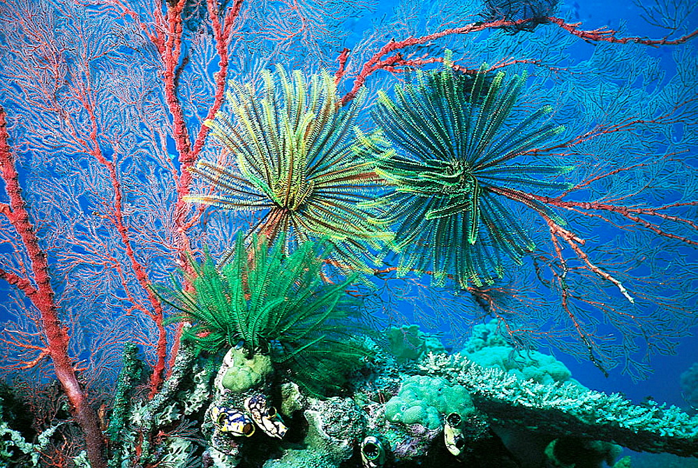 Gorgonian Sea Fan with Feather stars (Crinoids), Great Barrier Reef