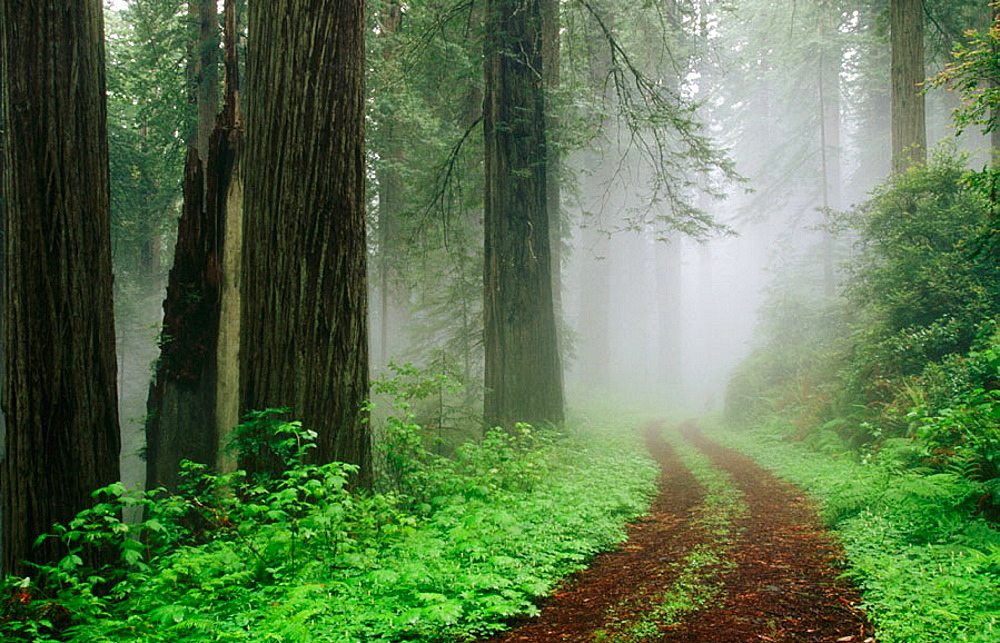 Redwoods (Sequoia sempervirens) in fog, Redwood National Park, Northern California, USA