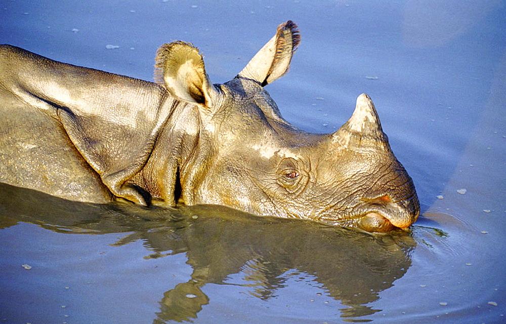 Indian One-horned Rhino (Rhinoceros unicornis), Royal Chitwan National Park, India