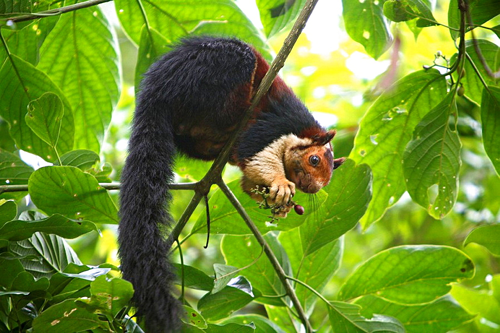 The Malabar Giant Squirrel (Ratufa indica maxima) is a brightly coloured squirrel that is almost as large as a house cat, at Periyar National Park, Thekady, Kerala, India