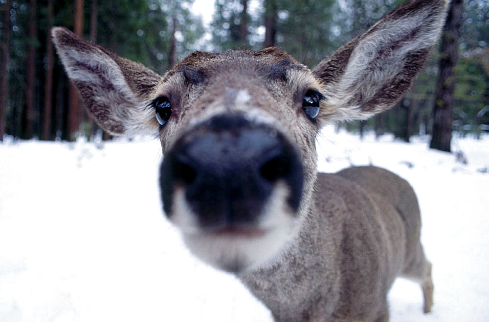 Mule Deer (Odocoileus hemionus), Yosemite National Park, California, USA