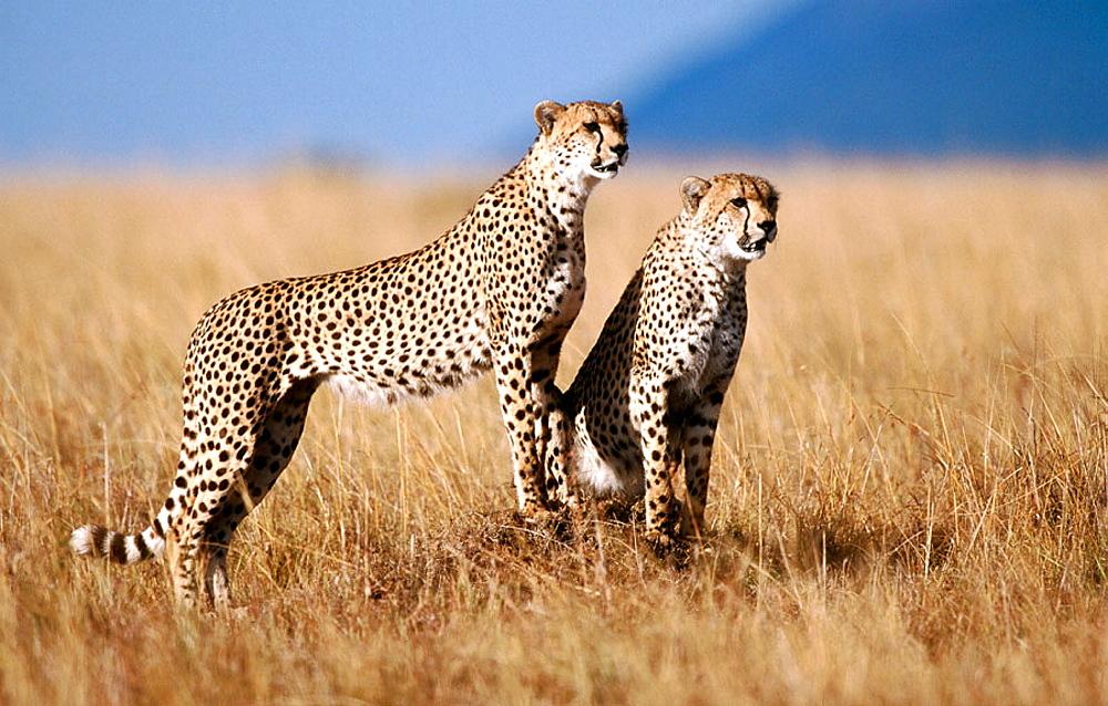 Female Cheetah (Acinonyx jubatus) with male cub, Masai Mara, Kenia
