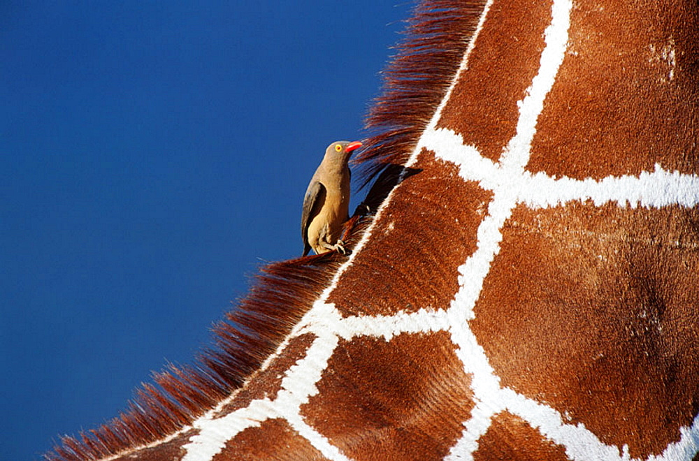 Reticulated Giraffe (Giraffa camelopardalis reticulata) with Red-billed Oxpeckers (Buphagus erythrorhynchus)