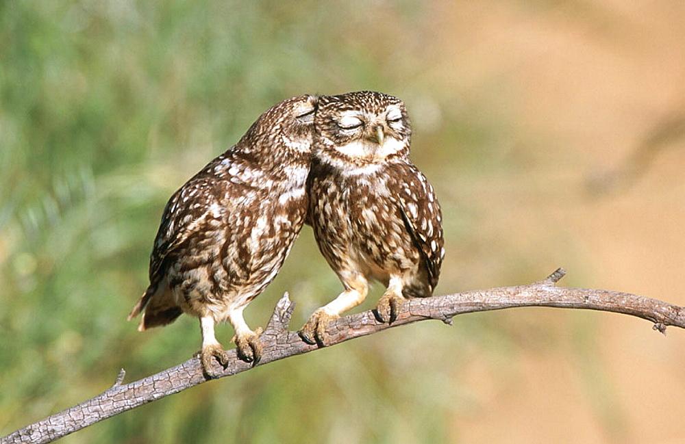 Little Owls (Athene noctua), Extremadura, Spain