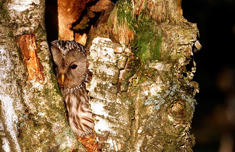 Ural Owl (Strix uralensis), Finland