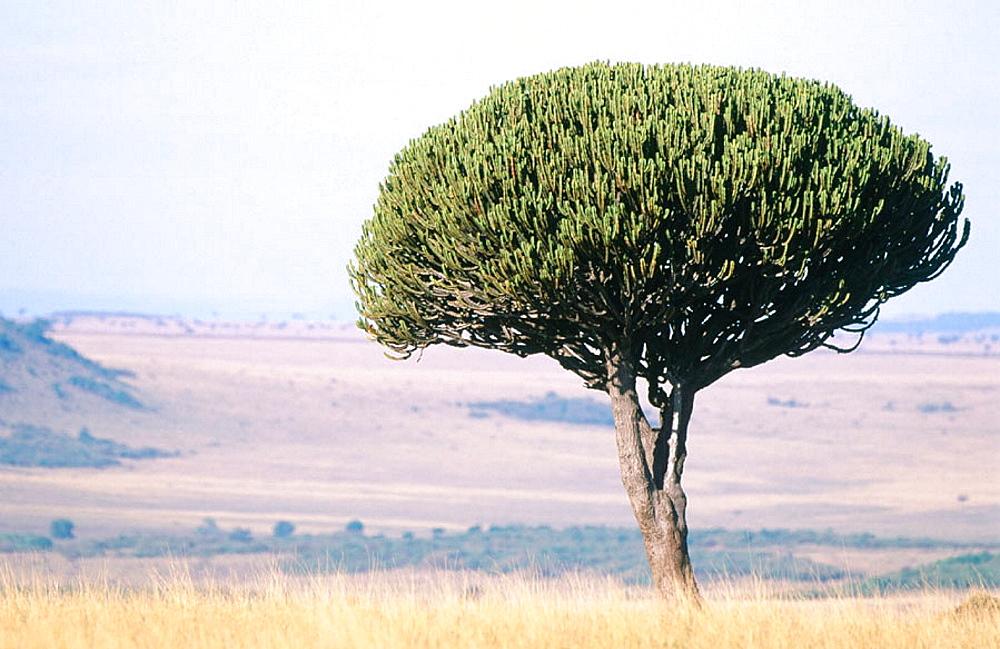 Candelabra tree (Euphorbia candelabrum), Masai Mara, Kenia