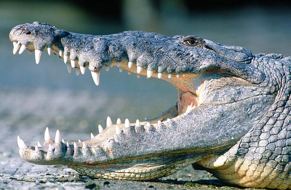 American crocodile (Crocodylus acutus), Everglades National Park, Florida, USA