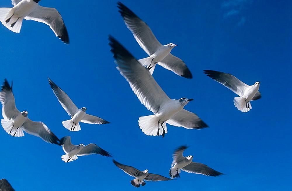 Flock of Laughing Gulls in winter plumage, (Larus atricilla), Estero Lagoon, Florida, USA