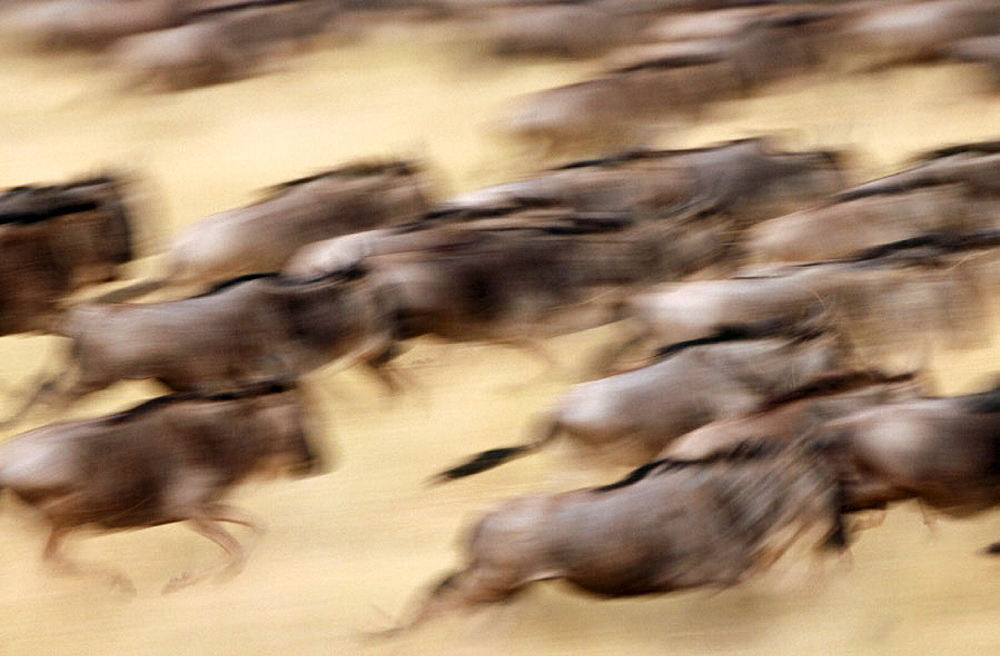 Blinded Blue Wildebeest (Connochaetes taurinus) migration, Masai Mara Game Reserve, Kenya - 817-128017
