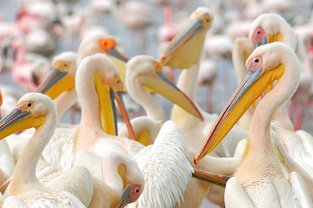 White Pelicans (Pelecanus onocrotalus), preening, Lake Nakuru, Kenya