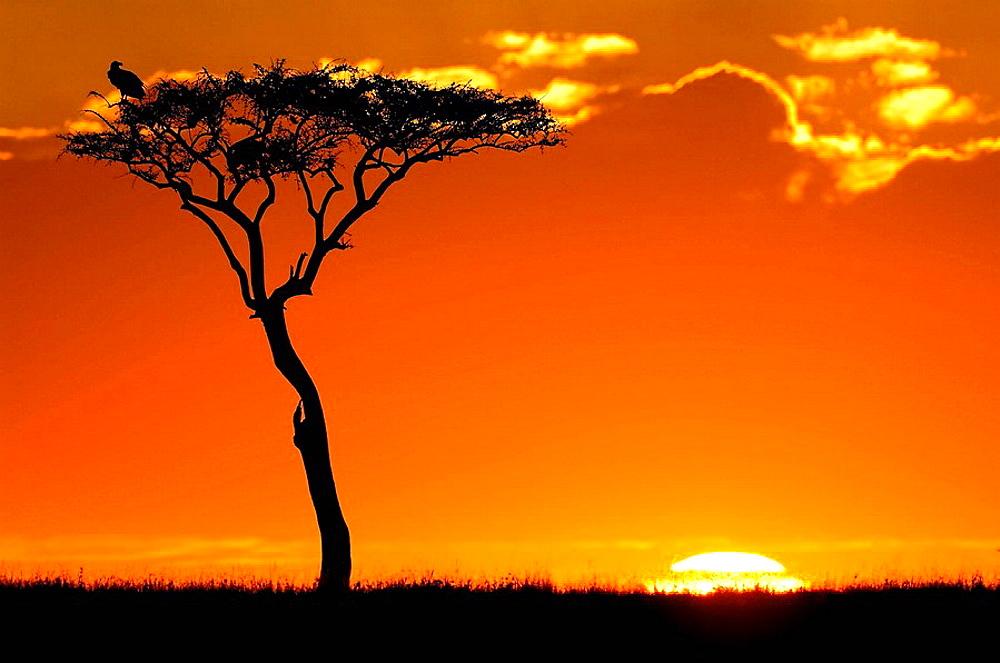 Balanites aegyptiaca at sunrise in the Massai Mara, Kenya - 817-128312