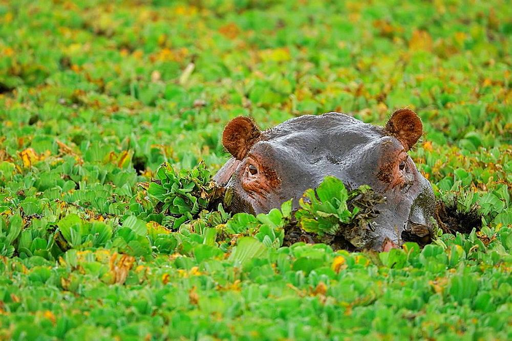 Hippopotamus (Hippopotamus amphibius) in a pool full of Water Lettuce (Pistia stratiotes), Massai Mara, Kenya - 817-128316