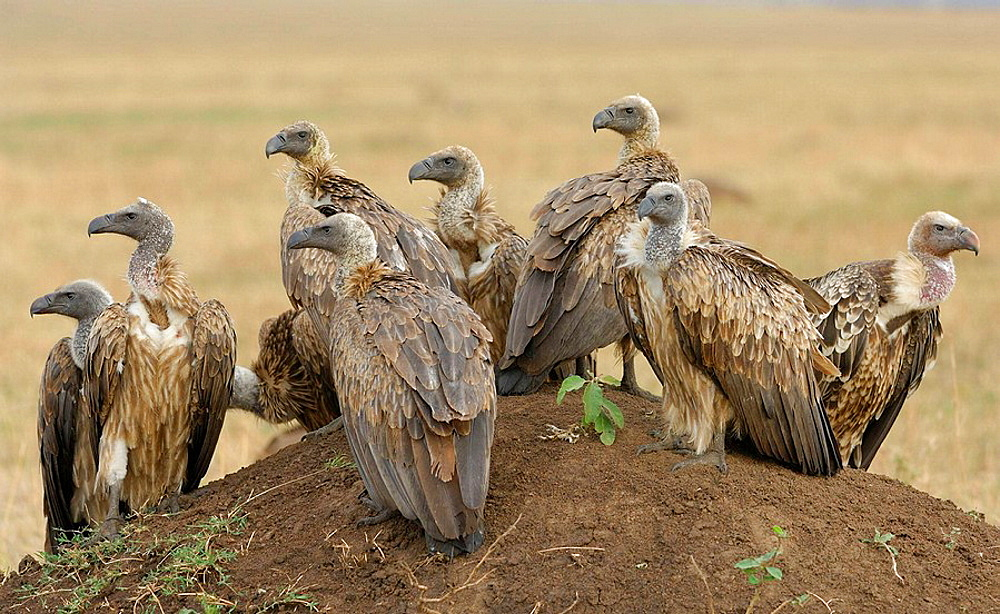 White-Backed Vultures (Gyps africanus) and Ruppell's Griffon Vulture (Gyps rueppellii) (bird on the right), resting on a termite mound after feeding, Massai Mara, Kenya