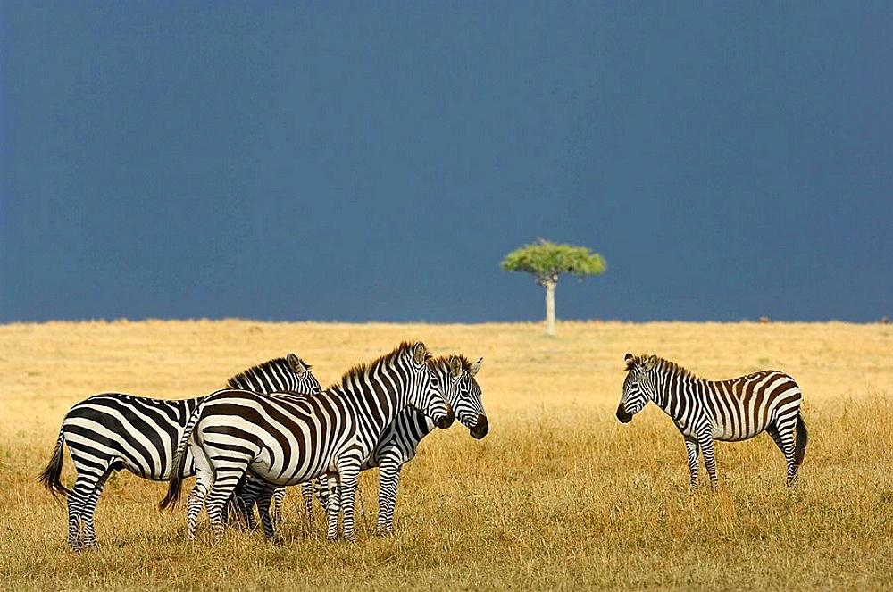 Common Zebras (Equus quagga boehmi), Massai Mara, Kenya - 817-128348