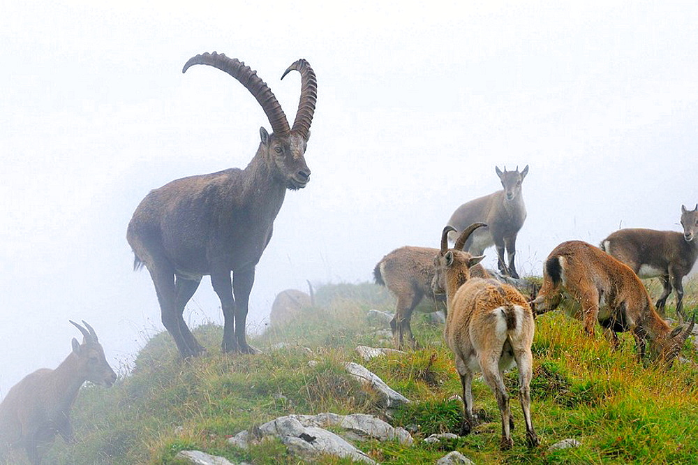 Alpine Ibex (Capra ibex), herd in fog, Niederhorn, Switzerland